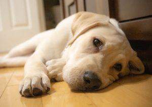 labrador lying down